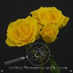 Spray Rose Golden Sensation 50 cm