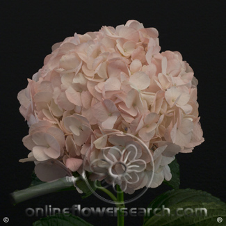 Hydrangea Pink Select