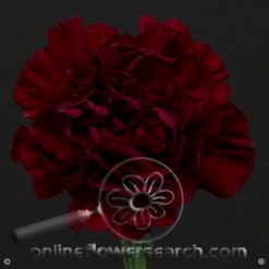 Carnation Burgundy Select  Zurigo or similar