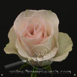 Rose Ragazaa 60 cm