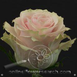 Rose Pink Mondial 70 cm