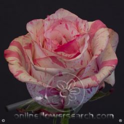 Rose Magic Times 50 cm