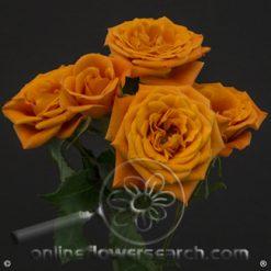 Spray Rose Orange Sensation 50 cm