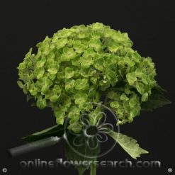 Hydrangea Shamrock Variegated Green Select