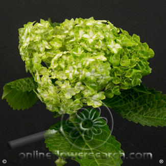 Hydrangea Shamrock Variegated White/Green Select