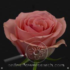 Rose Saga 60 cm