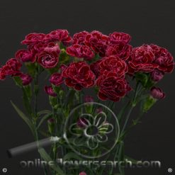 Carnation Mini Burgundy Fancy