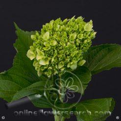 Hydrangea Mini Green