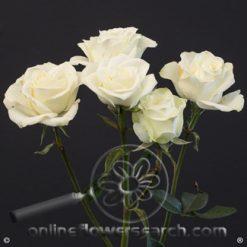 Spray Rose Floreana 50 cm
