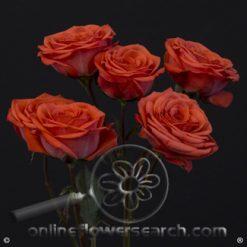 Spray Rose Corcega 50 cm