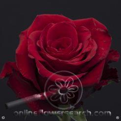 Rose Cupido 60 cm