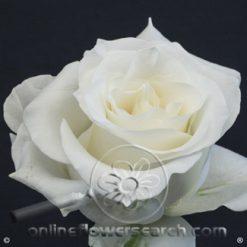 Rose Snow Bliss 60 cm