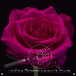 Rose Hot Explorer 50 cm