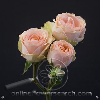 Spray Rose Irischka 50 cm