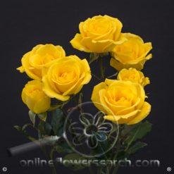 Spray Rose Bora Bora 50 cm