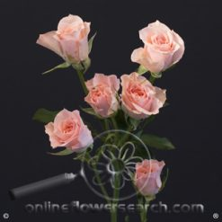 Spray Rose Elba 50 cm