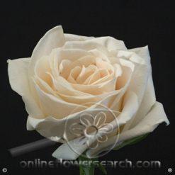 Rose Soul 60 cm