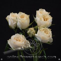 Spray Rose Bali 50 cm