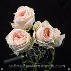 Spray Rose Ginger 50 cm
