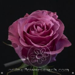 Rose Breathless 50 cm