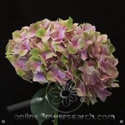Hydrangea Magical Tender Love XLarge (8.2- 9.8 inch diameter)
