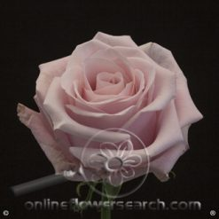 Rose Shy 60 cm