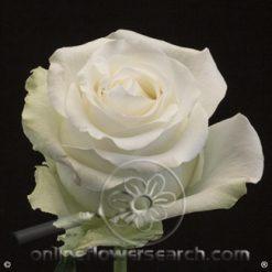 Rose Arctica 50 cm