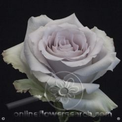 Rose Andrea 50 cm