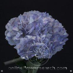 Hydrangea Lavender Select