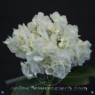 Hydrangea Premium (Designer) White - a larger head vs regular White Hydrangea