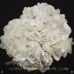 Hydrangea White Jumbo
