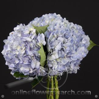 Hydrangea Premium (Designer) Blue - a larger head vs regular Blue Hydrangea