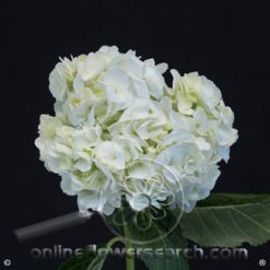 Hydrangea White Select ** SPECIAL!! **