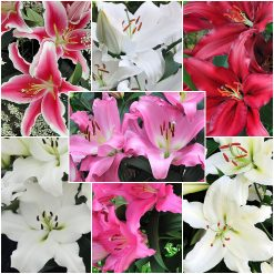 Lily OR Assorted 3-5 bl.