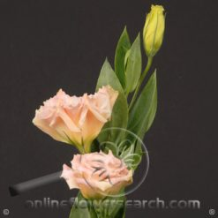 Lisianthus Peach Select