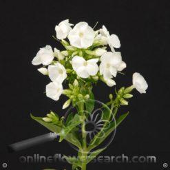 Phlox White 70 cm