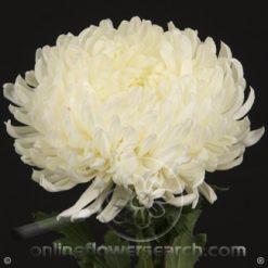Chrysanthemum Football Mum White 70 cm