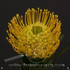 Protea Pincushion Yellow 50 cm
