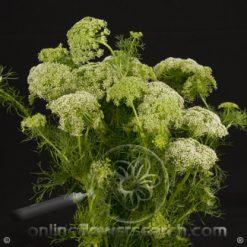 Ammi Majus Queen Anne Lace Green Mist 70 cm