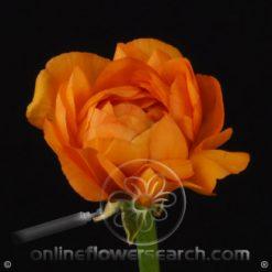 Ranunculus Orange 40-45 cm