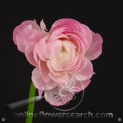 Ranunculus Pink 40-45 cm