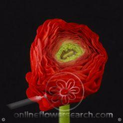 Ranunculus Red 40-45 cm