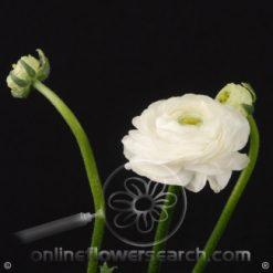 Ranunculus White 40-45 cm