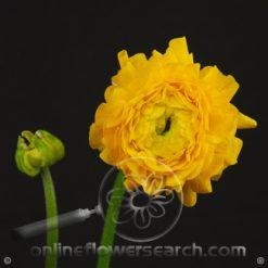 Ranunculus Yellow 40-45 cm