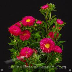 Aster Matsumoto Hot Pink Select