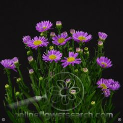 Aster Sungal Purple 70/80 cm