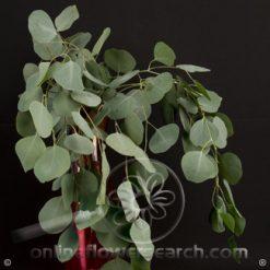 Eucalyptus Silver Dollar 50 cm