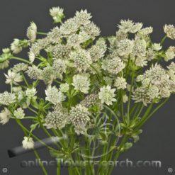 Astrantia White 60 cm
