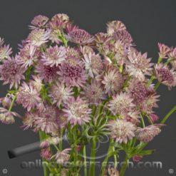 Astrantia Light Pink 60 cm