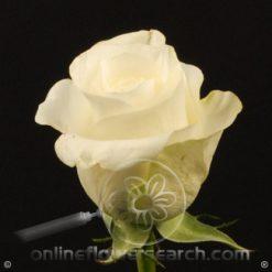 Rose Akito 50 cm
